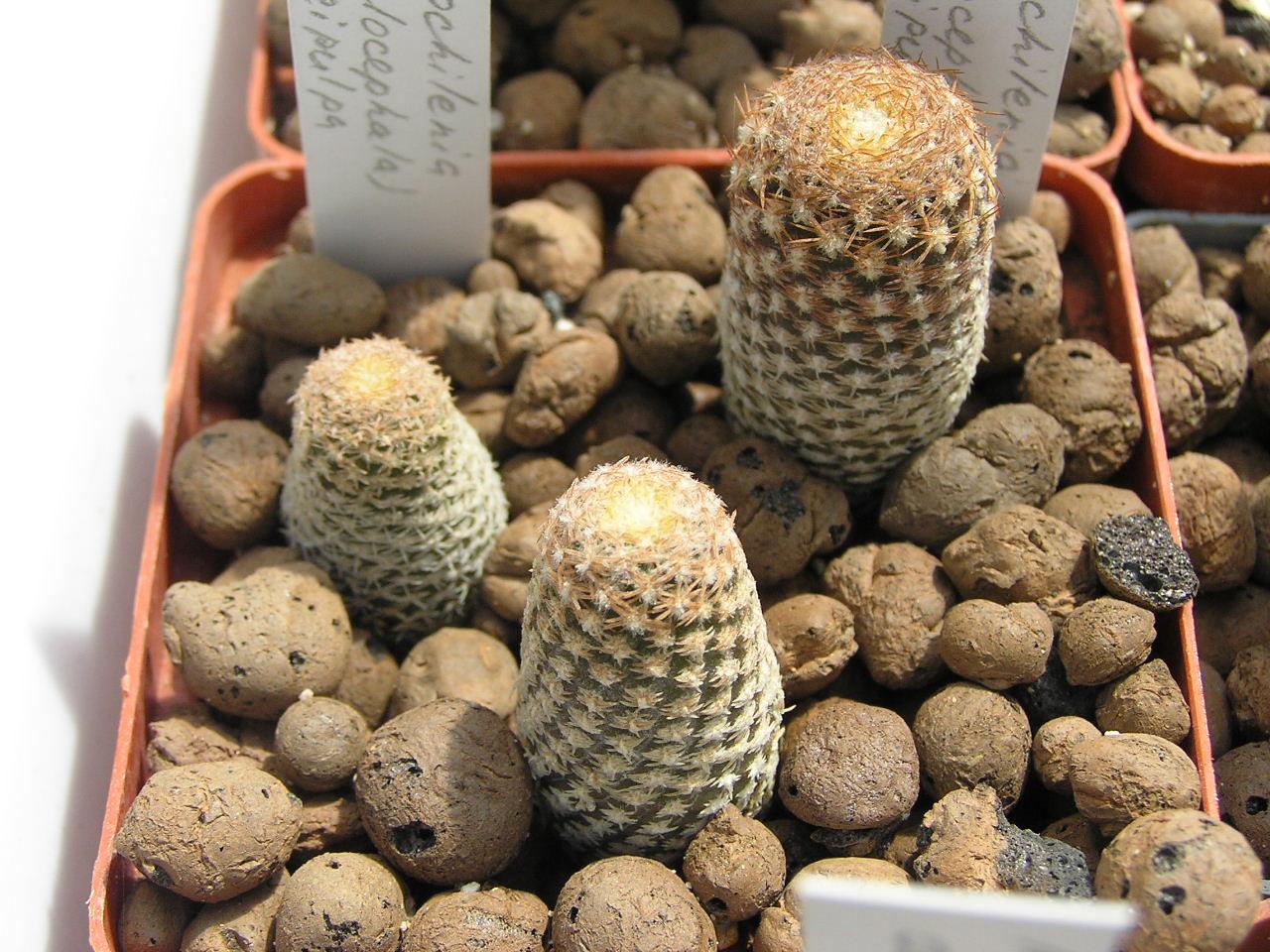 pyrrhocactus фото